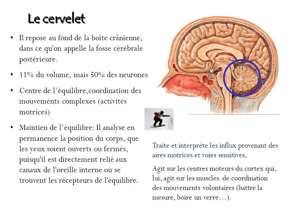 Le cervelet Il repose au fond de la boîte crânienne, dans ce qu on appelle la fosse cérébrale postérieure.