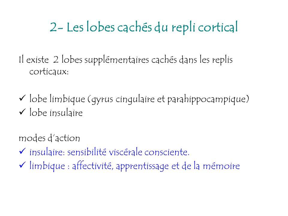 2- Les lobes cachés du repli cortical