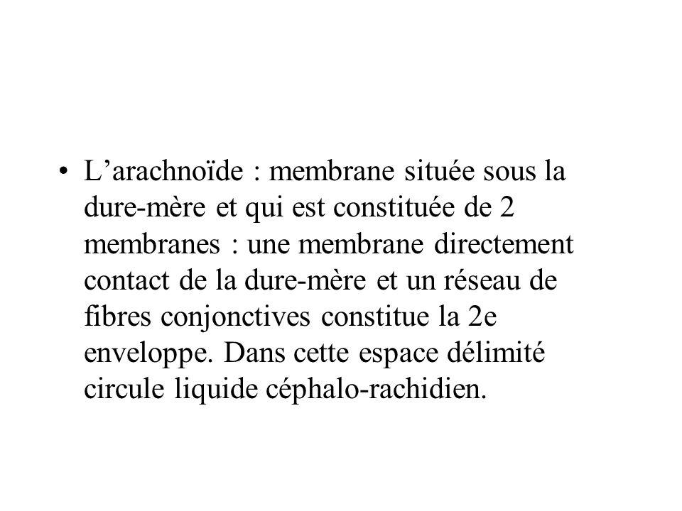 L'arachnoïde : membrane située sous la dure-mère et qui est constituée de 2 membranes : une membrane directement contact de la dure-mère et un réseau de fibres conjonctives constitue la 2e enveloppe.