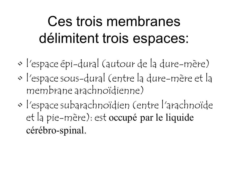 Ces trois membranes délimitent trois espaces: