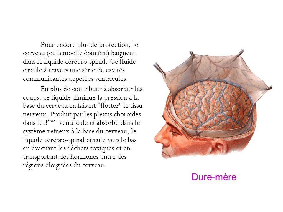 Pour encore plus de protection, le cerveau (et la moelle épinière) baignent dans le liquide cérébro-spinal. Ce fluide circule à travers une série de cavités communicantes appelées ventricules.