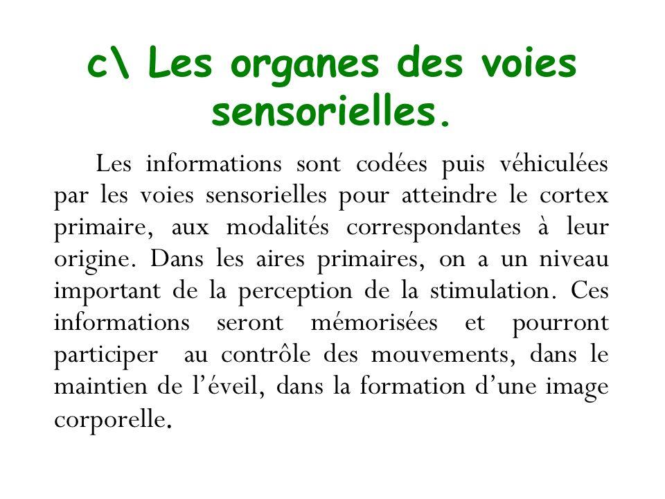 c\ Les organes des voies sensorielles.