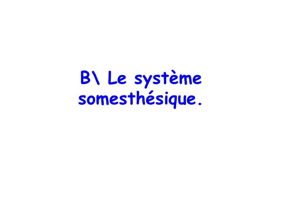 B\ Le système somesthésique.