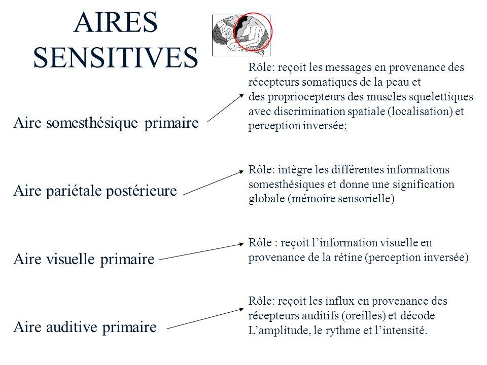 AIRES SENSITIVES Aire somesthésique primaire