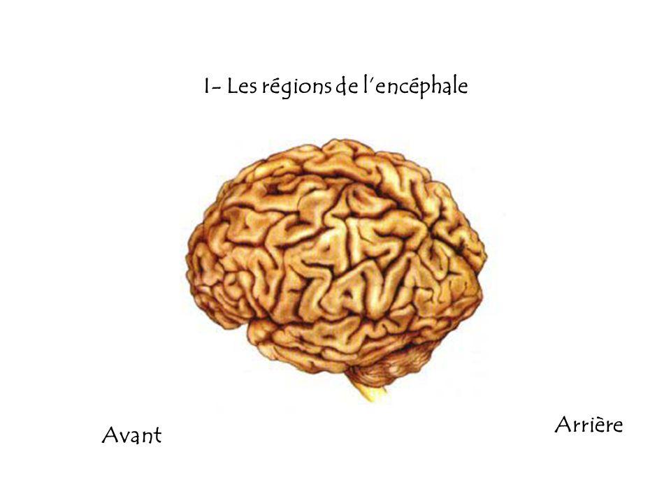 I- Les régions de l'encéphale