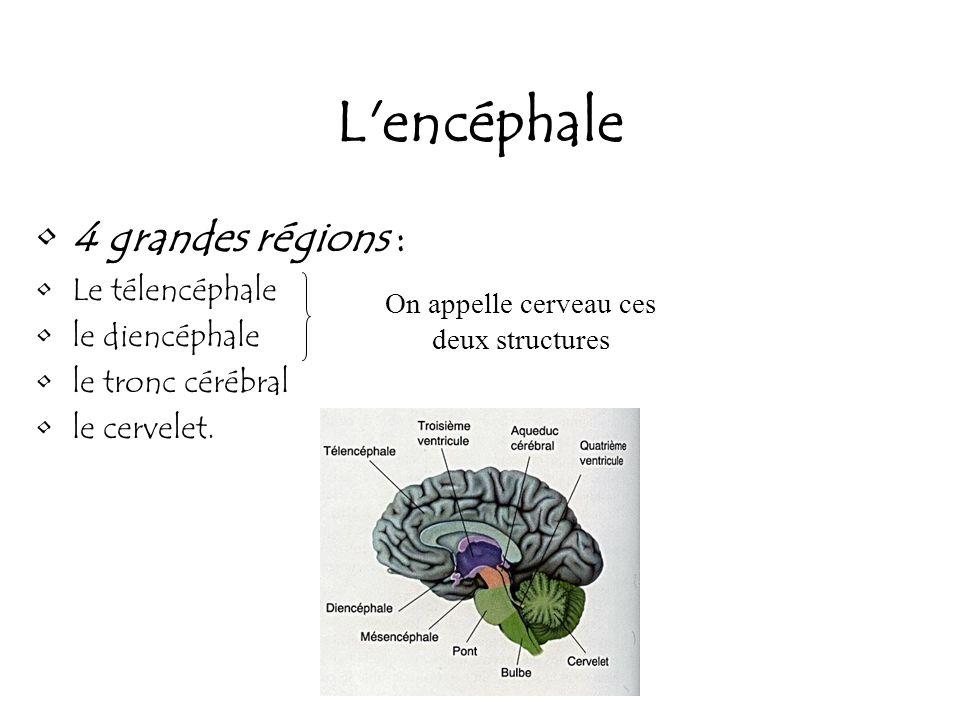 On appelle cerveau ces deux structures