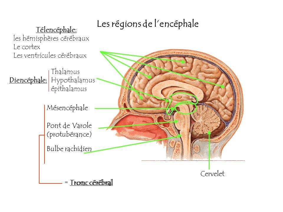Les régions de l'encéphale