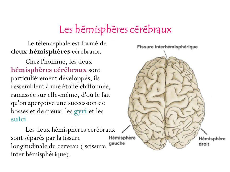Les hémisphères cérébraux