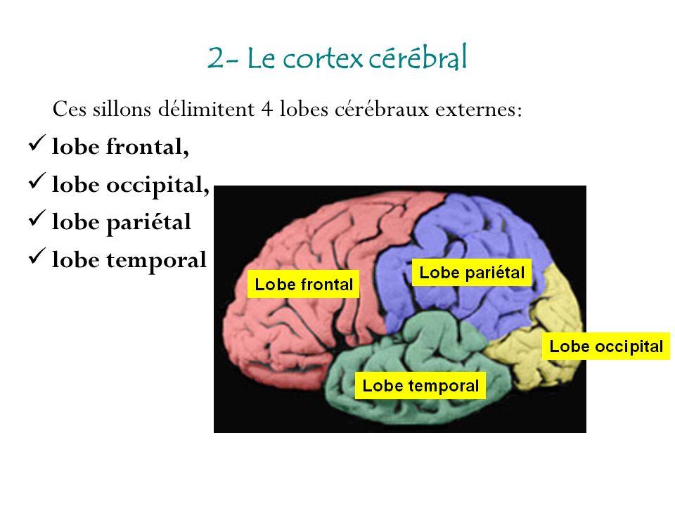2- Le cortex cérébral Ces sillons délimitent 4 lobes cérébraux externes: lobe frontal, lobe occipital,
