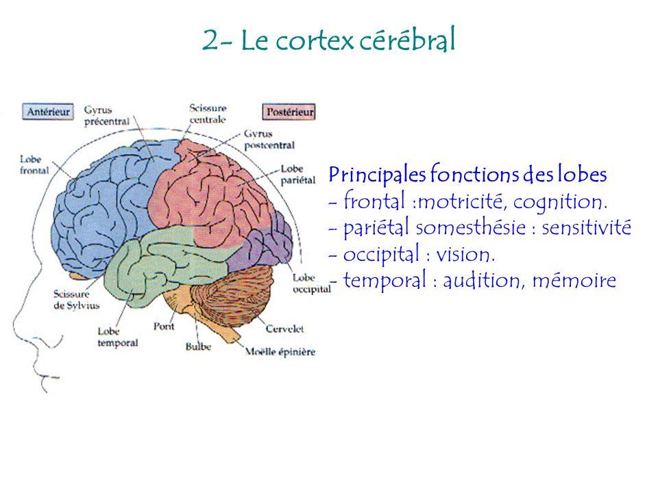 2- Le cortex cérébral
