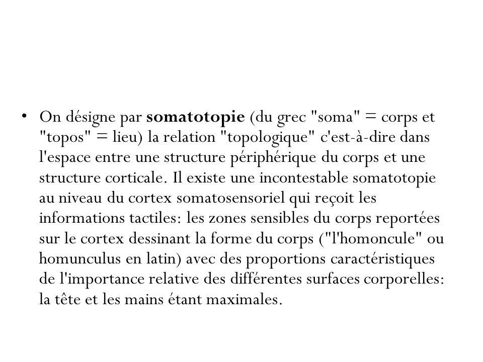 On désigne par somatotopie (du grec soma = corps et topos = lieu) la relation topologique c est-à-dire dans l espace entre une structure périphérique du corps et une structure corticale.