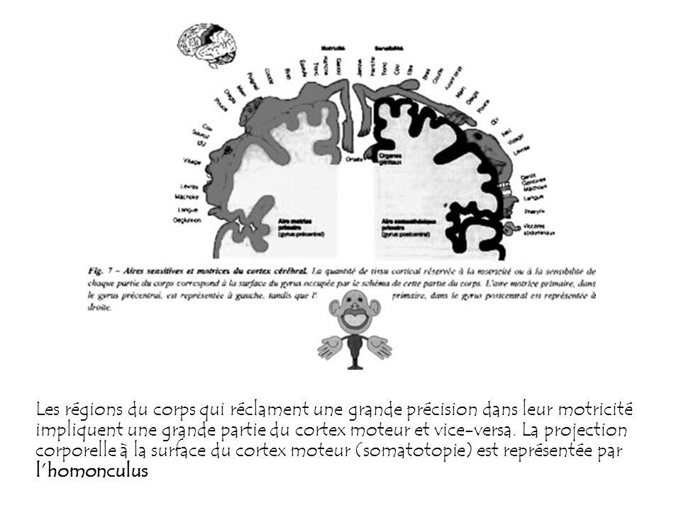 Les régions du corps qui réclament une grande précision dans leur motricité impliquent une grande partie du cortex moteur et vice-versa.