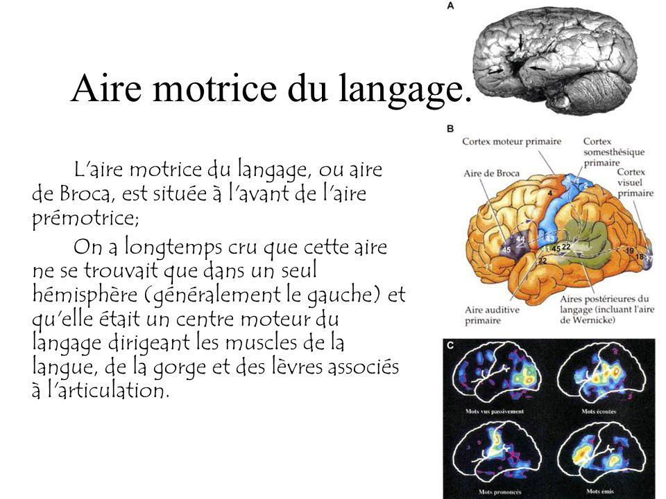 Aire motrice du langage.