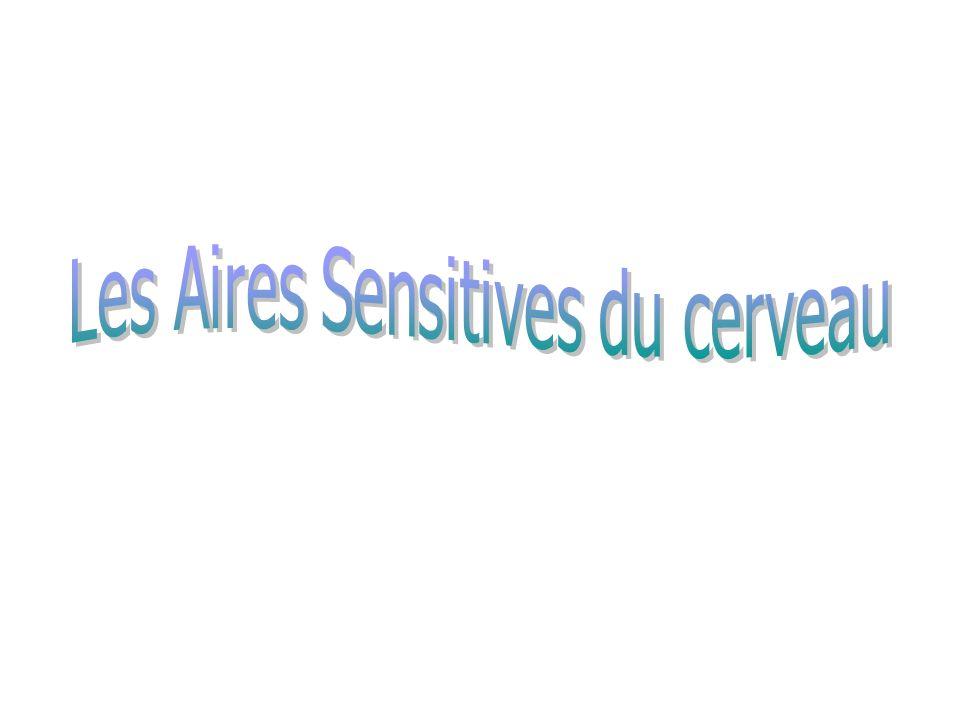 Les Aires Sensitives du cerveau