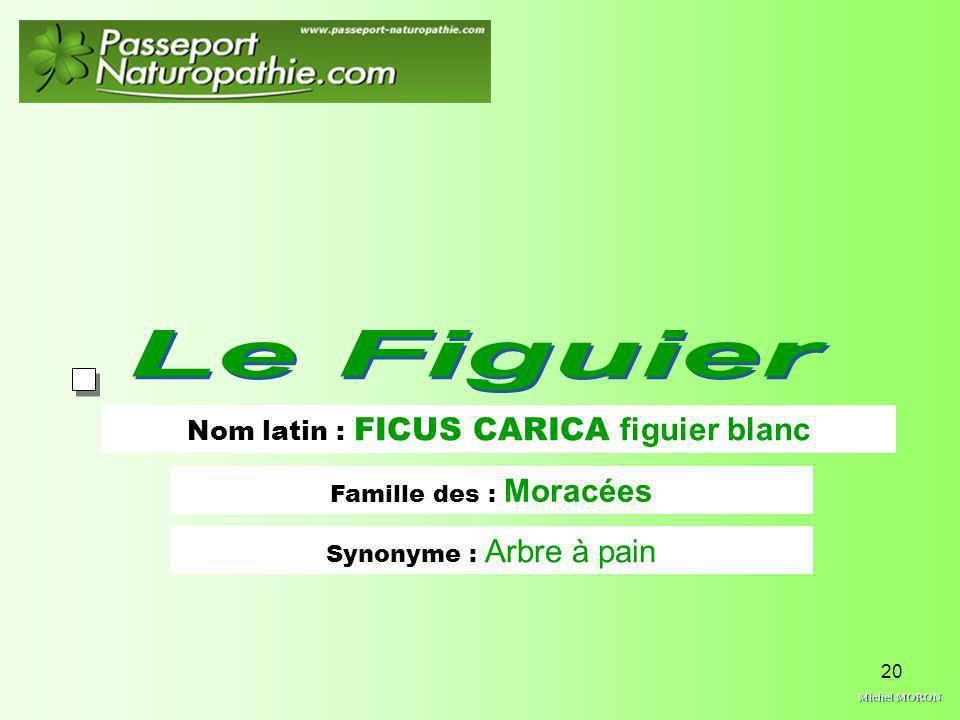 Nom latin : FICUS CARICA figuier blanc