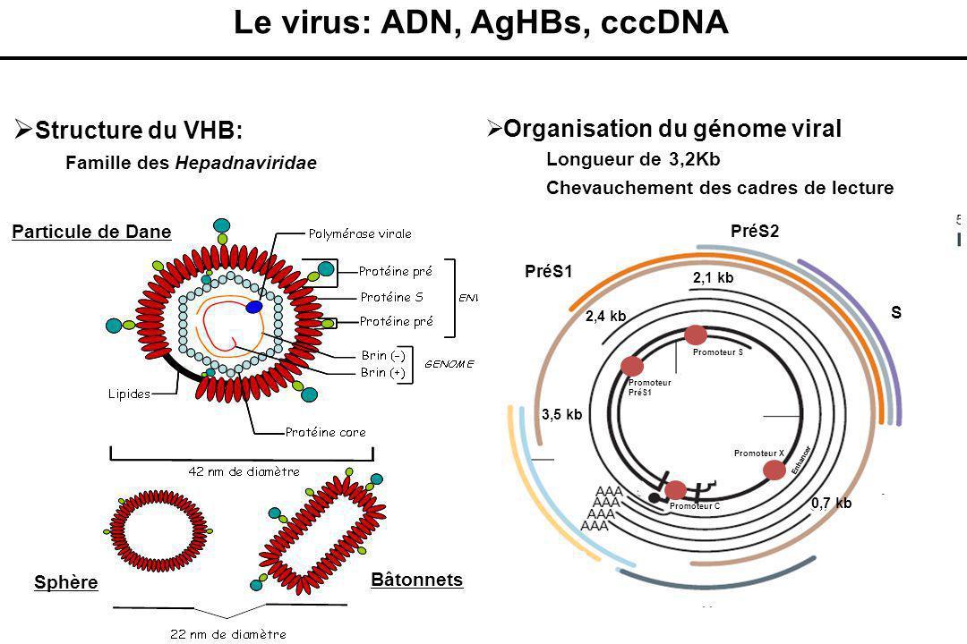 Le virus: ADN, AgHBs, cccDNA