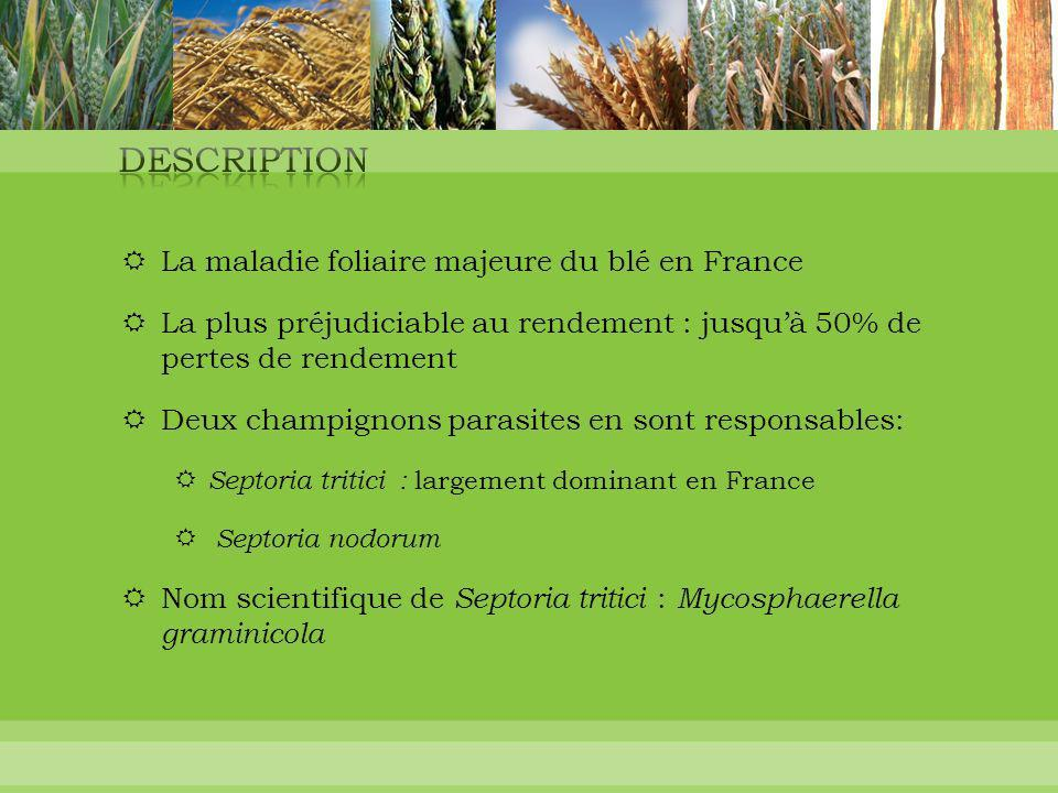 Description La maladie foliaire majeure du blé en France