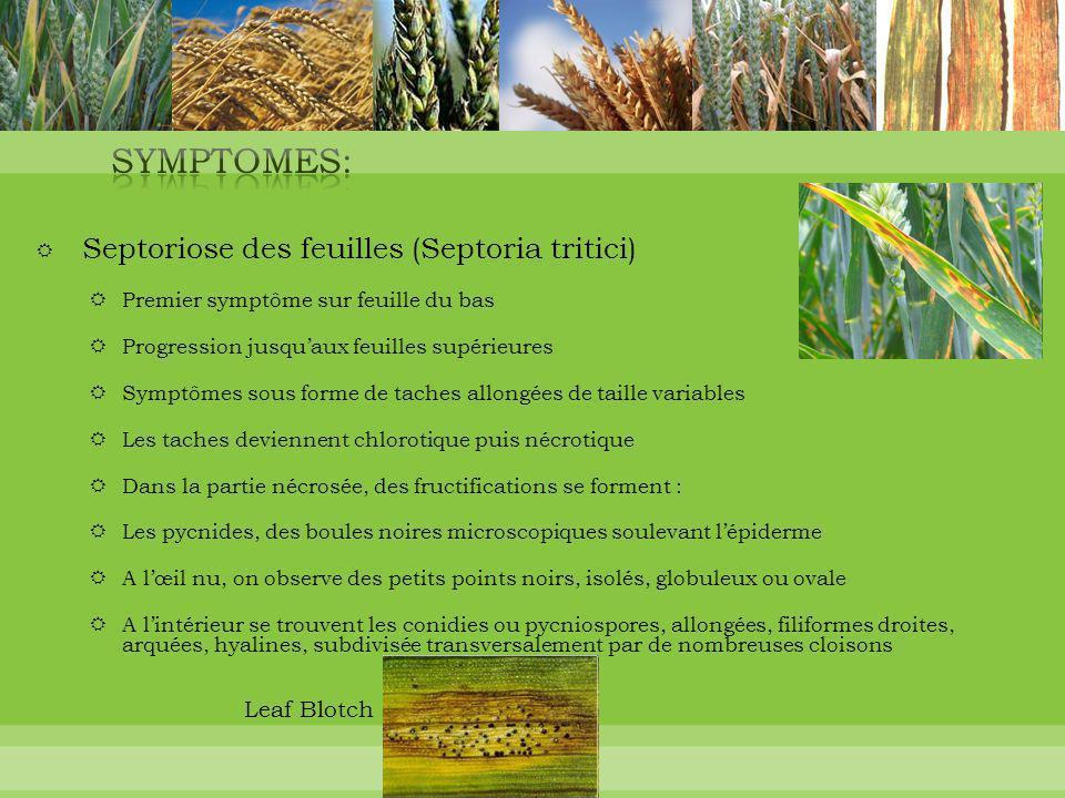 SYMPTOMES: Leaf Blotch Septoriose des feuilles (Septoria tritici)