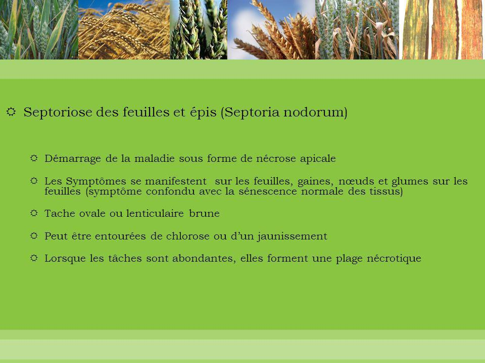Septoriose des feuilles et épis (Septoria nodorum)
