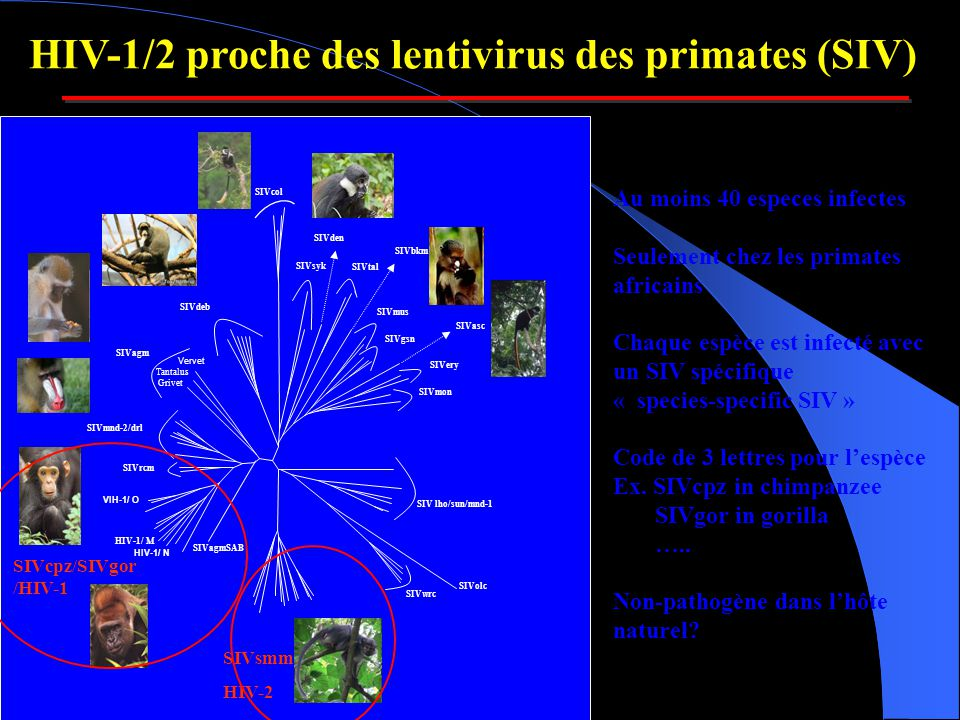 HIV-1/2 proche des lentivirus des primates (SIV)