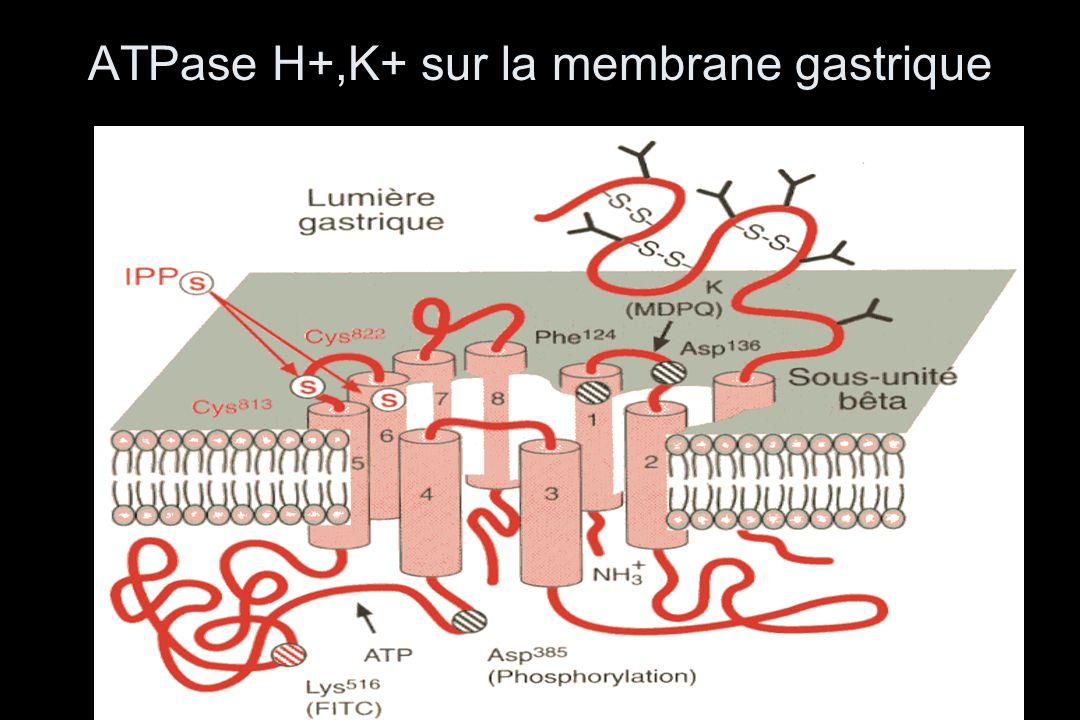 ATPase H+,K+ sur la membrane gastrique