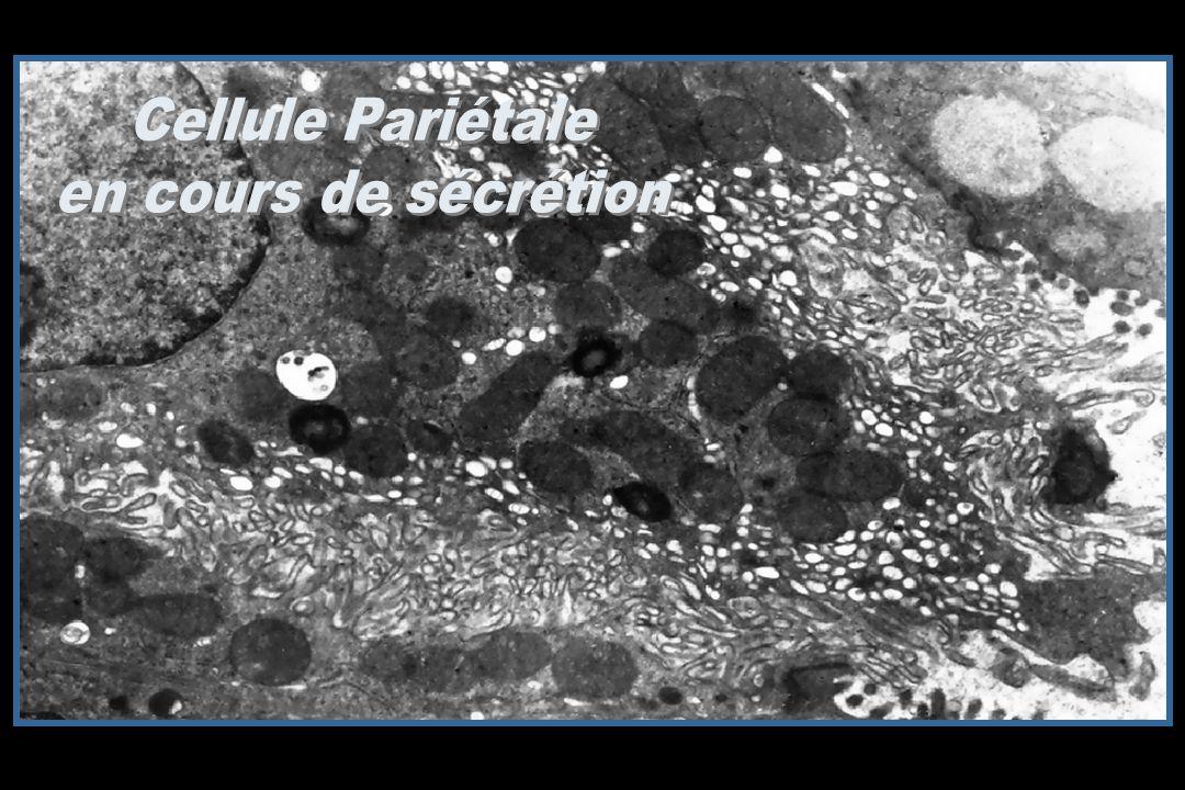Cellule Pariétale en cours de sécrétion
