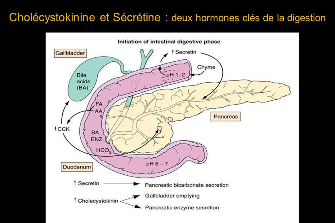 Cholécystokinine et Sécrétine : deux hormones clés de la digestion