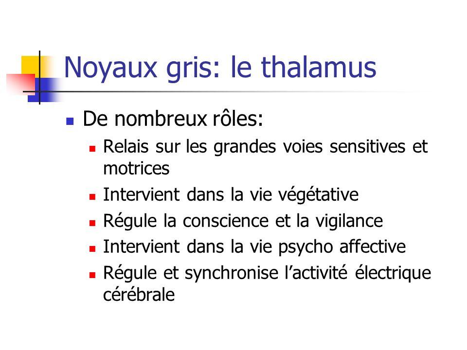Noyaux gris: le thalamus