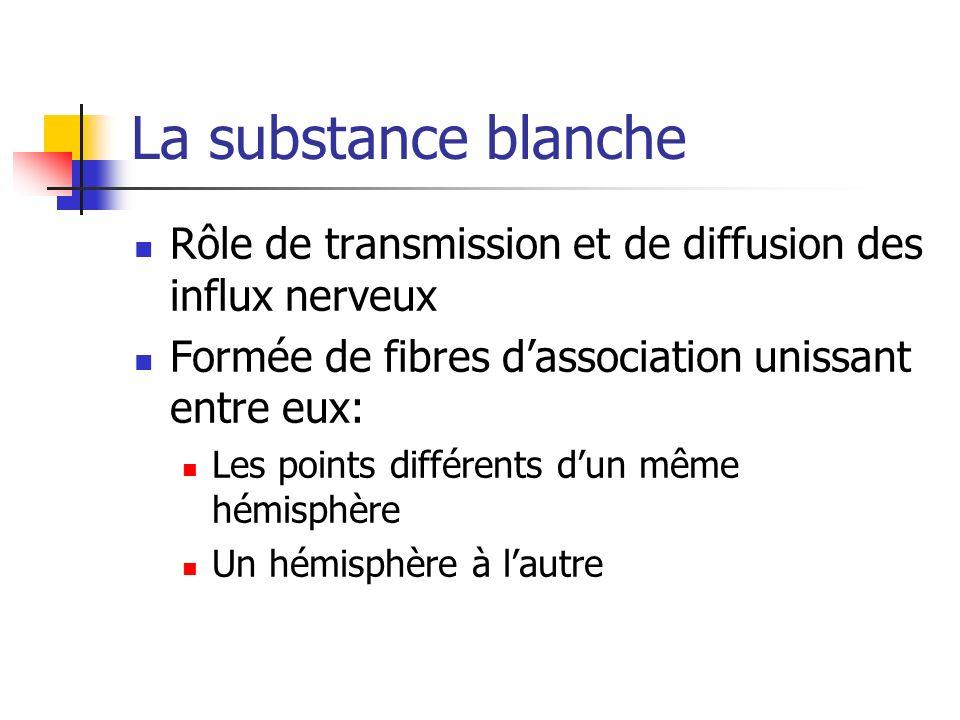 La substance blanche Rôle de transmission et de diffusion des influx nerveux. Formée de fibres d'association unissant entre eux: