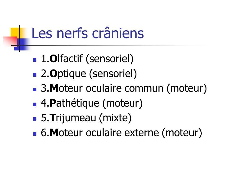 Les nerfs crâniens 1.Olfactif (sensoriel) 2.Optique (sensoriel)