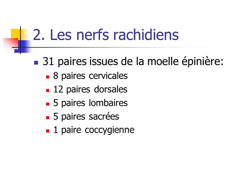 2. Les nerfs rachidiens 31 paires issues de la moelle épinière: