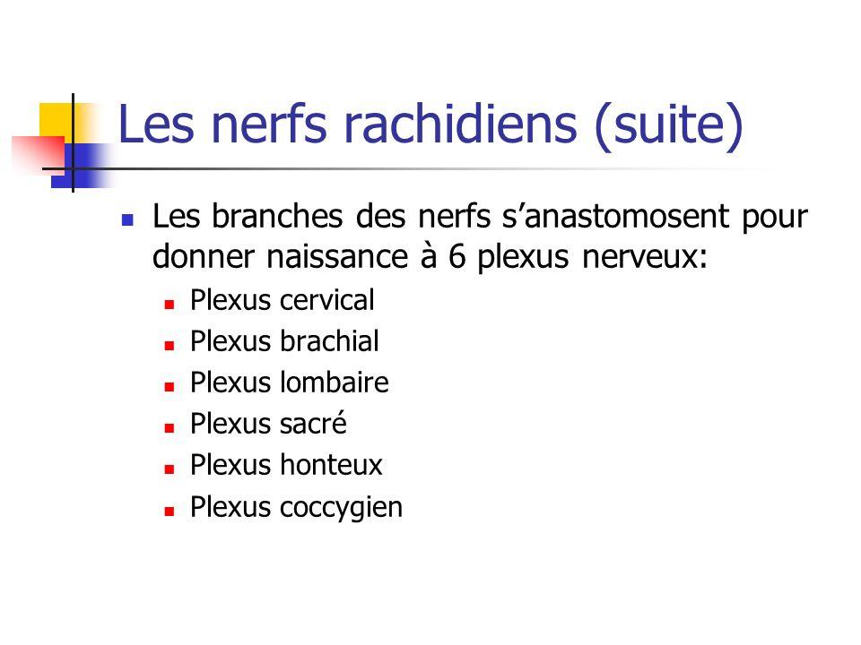 Les nerfs rachidiens (suite)