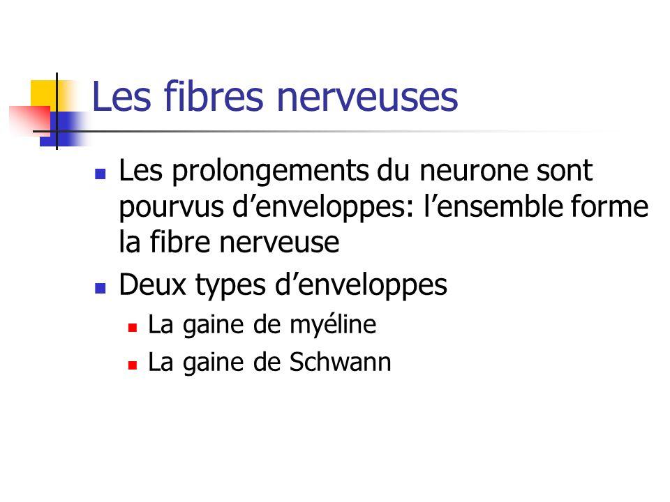 Les fibres nerveuses Les prolongements du neurone sont pourvus d'enveloppes: l'ensemble forme la fibre nerveuse.