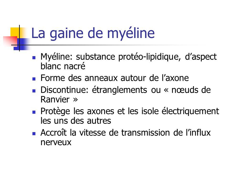 La gaine de myéline Myéline: substance protéo-lipidique, d'aspect blanc nacré. Forme des anneaux autour de l'axone.
