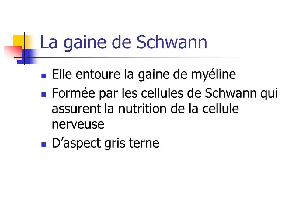 La gaine de Schwann Elle entoure la gaine de myéline