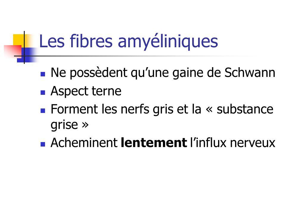 Les fibres amyéliniques