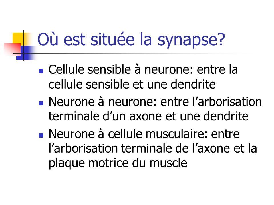 Où est située la synapse