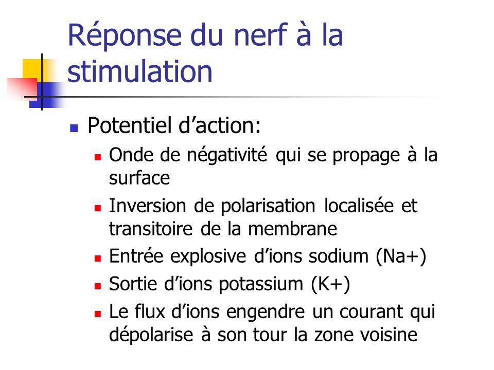 Réponse du nerf à la stimulation