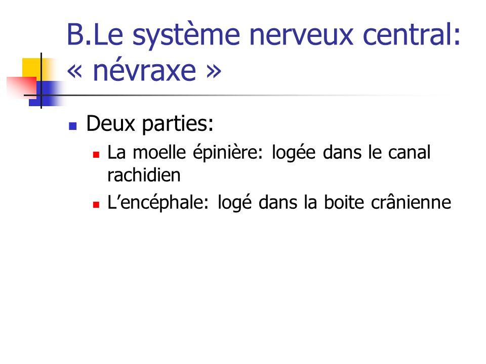 B.Le système nerveux central: « névraxe »