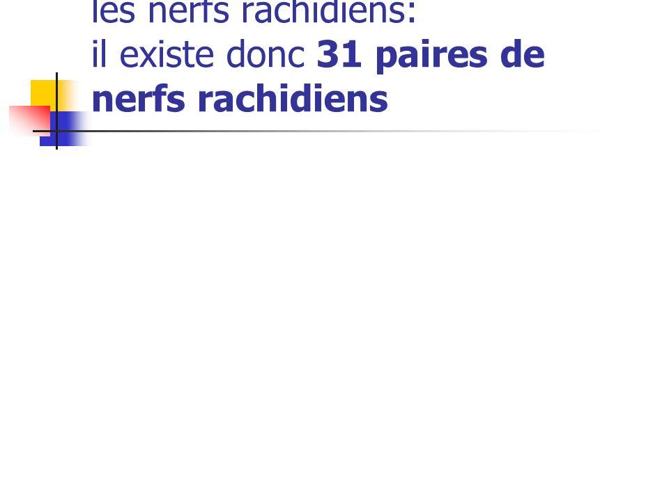 Chaque paire s'unit pour former les nerfs rachidiens: il existe donc 31 paires de nerfs rachidiens