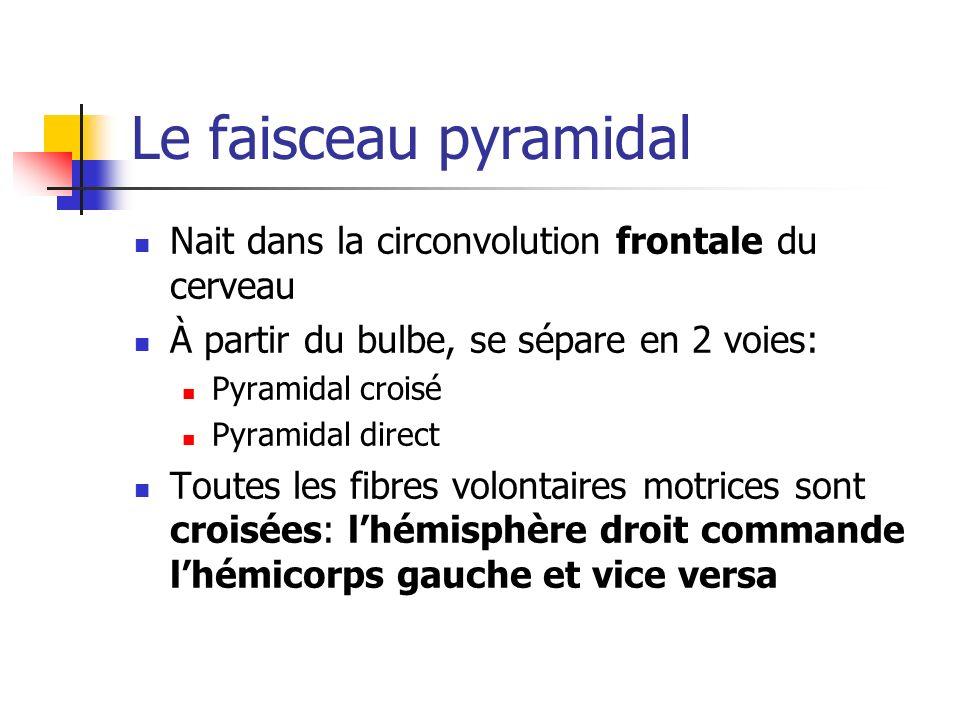 Le faisceau pyramidal Nait dans la circonvolution frontale du cerveau