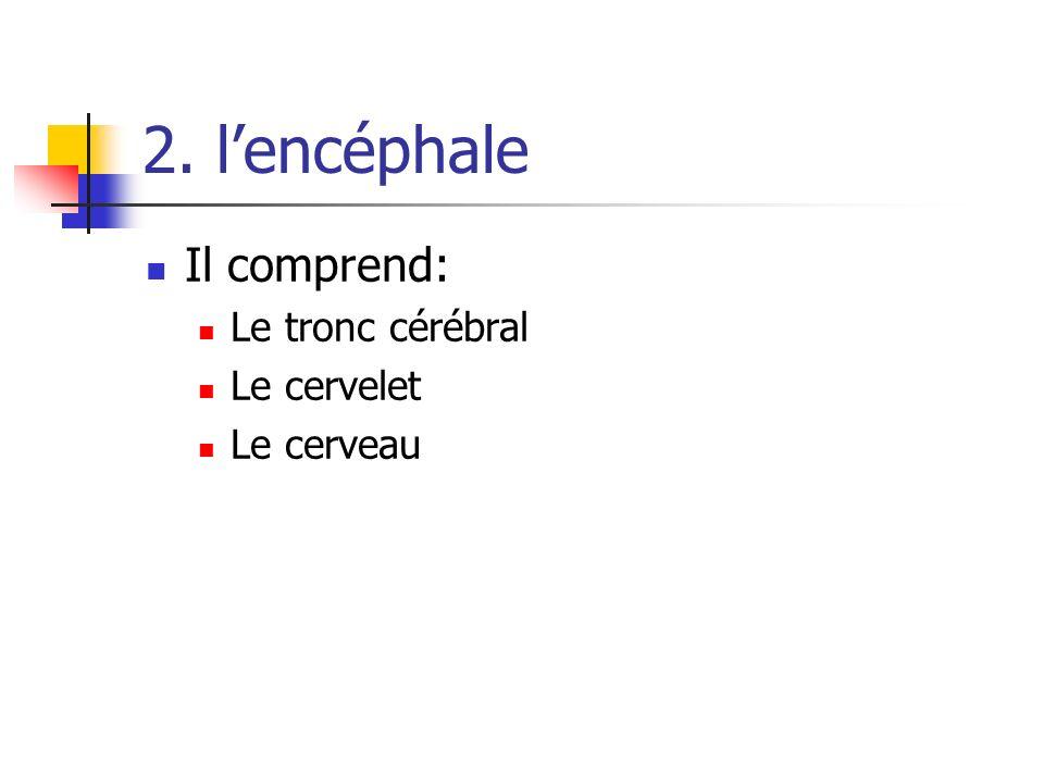 2. l'encéphale Il comprend: Le tronc cérébral Le cervelet Le cerveau