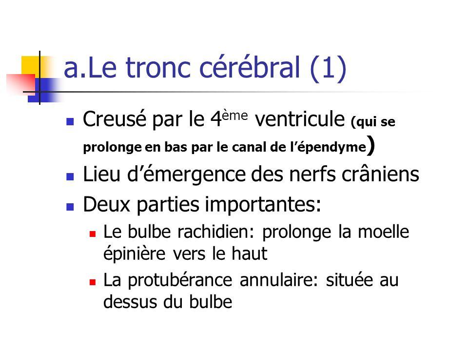 a.Le tronc cérébral (1) Creusé par le 4ème ventricule (qui se prolonge en bas par le canal de l'épendyme)