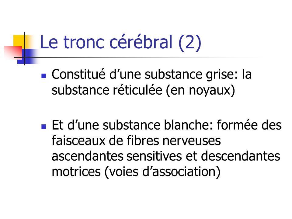 Le tronc cérébral (2) Constitué d'une substance grise: la substance réticulée (en noyaux)