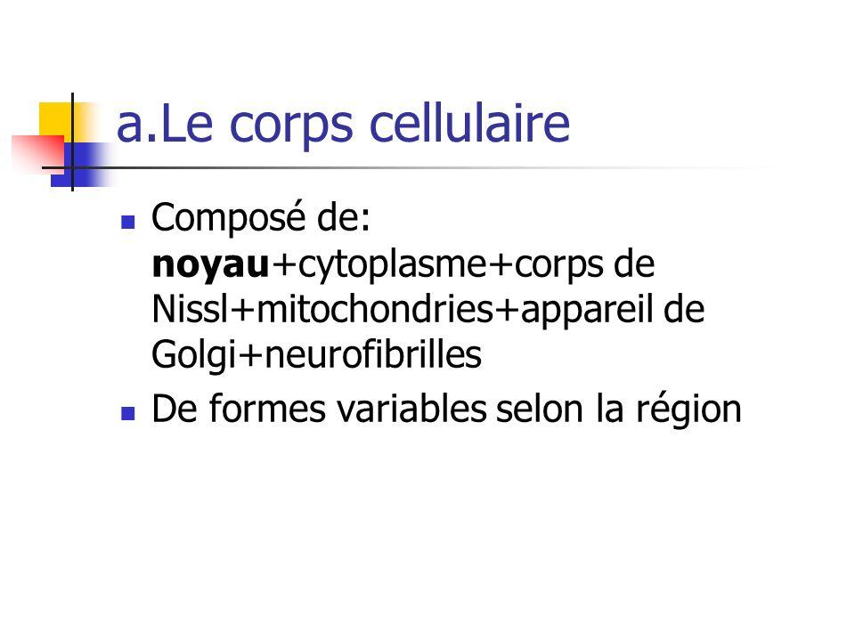a.Le corps cellulaire Composé de: noyau+cytoplasme+corps de Nissl+mitochondries+appareil de Golgi+neurofibrilles.