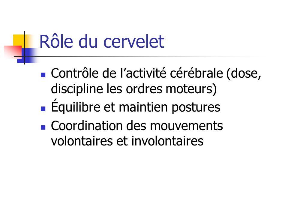 Rôle du cervelet Contrôle de l'activité cérébrale (dose, discipline les ordres moteurs) Équilibre et maintien postures.