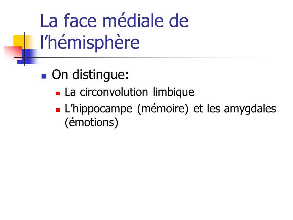 La face médiale de l'hémisphère