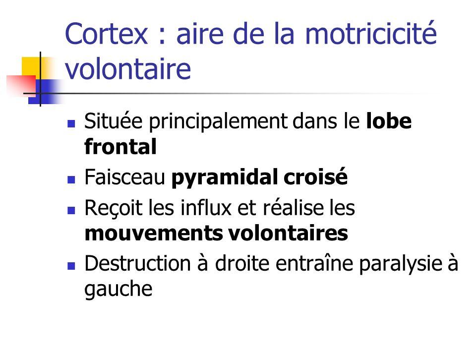 Cortex : aire de la motricicité volontaire