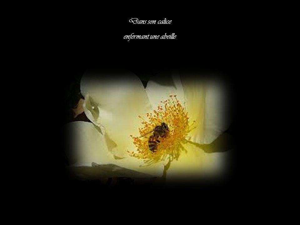 Dans son calice enfermant une abeille
