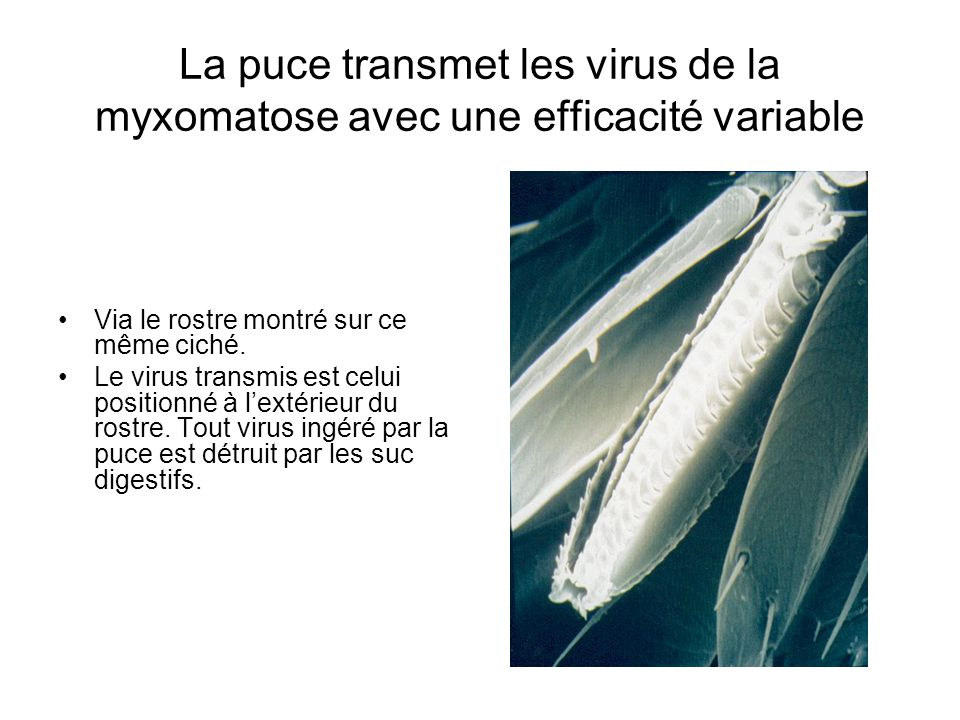 La puce transmet les virus de la myxomatose avec une efficacité variable